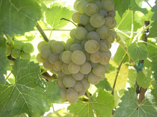 White grapes, of the varietal NY76.