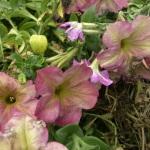 moldy dusty rose petunias