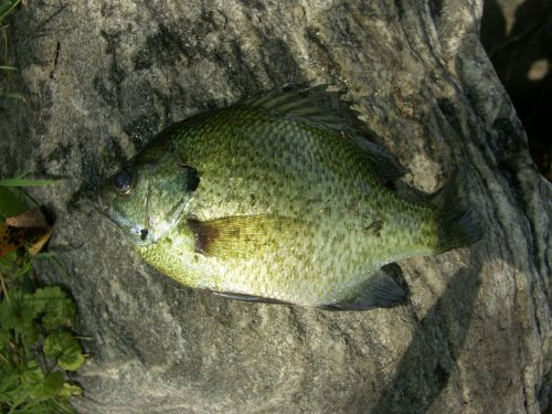 My first bluegill. He looks bigger here than he was.