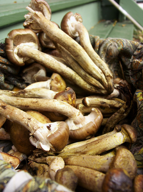 Darling, sweetie-pie, sugar-muffin, love-spud honey mushrooms. Armillaria something.
