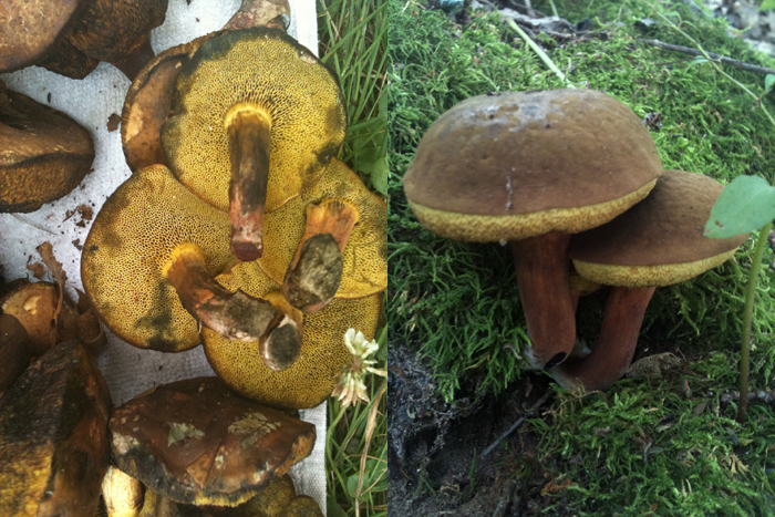 Mushrooms Wisconsin Edible Wild